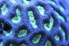 macro corais azul[8]