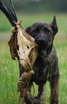 Mission:  Raise and train a Dutch Shepherd puppy and make him a champion sport dog.  Mission Accomplished.   www.CanineTrainingConcepts.com