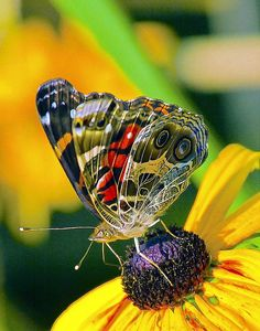 Painted Lady By Constantine Gregory
