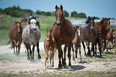 Foundation Bred Quarter Horses Wagon Wheel Ranch Horses