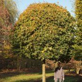 Acer Plat Globosum