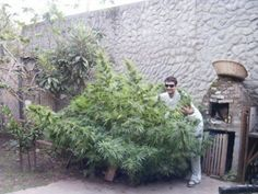 Tincho para #GrowLandiaComunidad - http://growlandia.com/highphotos/media/tincho-para-growlandiacomunidad/