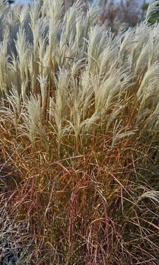 Miscanthus Purpurascens Flame Grass... and I also planted this one Spring 2013. I look forward to watching it grow!