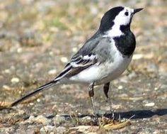 British garden birds - Pied wagtail