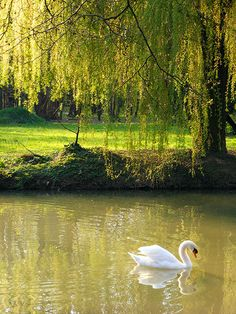 The swan in Zagreb, Croatia