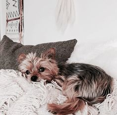 Yorkshire Terrier – Energetic and Affectionate Cute Puppies, Cute Dogs, Dogs And Puppies, Doggies, Funny Dogs, Animals And Pets, Baby Animals, Cute Animals, Yorky