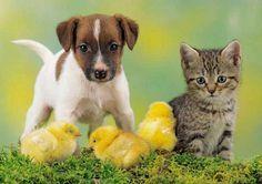Perro ,gato y pollo