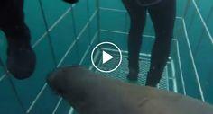 Foca Escapa a Ataque De Tubarão Refugiando-se Na Jaula De Mergulhadores http://www.funco.biz/foca-escapa-ataque-tubarao-refugiando-se-na-jaula-de-mergulhadores/