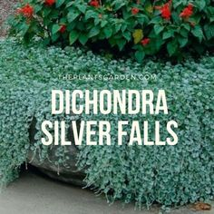 How To Care And Grow Dichondra Silver Falls? Evergreen herbaceous perennial plant Dichondra is part of the family of Bindweed. Related dichondra considered such plants as: kalistegiya, morning glory, and bindweed. Silver Falls Plant, Silver Plant, Growing Seedlings, Growing Plants, Herbaceous Perennials, Perennial Plant, Hardy Perennials, Outdoor Plants, Outdoor Gardens
