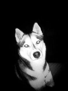 Husky in black and white