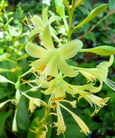 Miracle Lemony Hosta - The First Yellow Bloom Hosta & Fragrant - Bareroot