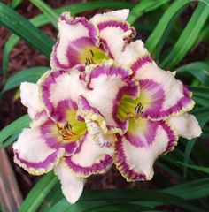 Photo of the bloom of Daylily (Hemerocallis 'Can't Believe My Eyes') Exotic Flowers, Tropical Flowers, Amazing Flowers, Beautiful Roses, Purple Flowers, Beautiful Flowers, Cactus Flower, Yellow Roses, Pink Roses