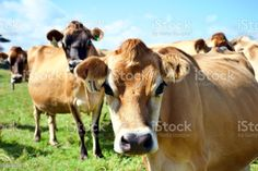 Jersey Cow Dairy Cattle in Rural Scene Dairy Jersey Cattle of Cows on the Farm in a Rural Scene. Agricultural Field Stock Photo Jersey Cattle, North Island New Zealand, Dairy Cattle, Scene Photo, Feature Film, Photo Illustration, Cows, Image Now, Royalty Free Images