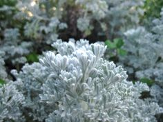 Artemisia Combine with Purple Verbena