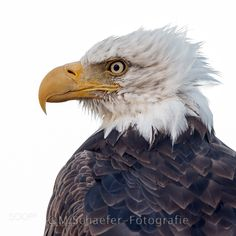 Bald Eagle Portrait - Pinned by Mak Khalaf During my stay in Alaska I was fortunate to approach an bald eagle to 4 or 5 meters on the beach at Homer Spit. With 500mm could I make this portrait of my favorite bird of prey Animals alaskaanimalanimalsbald eaglebeakbeautifulbirdbird of preybirdsclosecloseupeagleheadhomerportraitraptorwhitewildwildlifeyellow by mschaeferfotografie