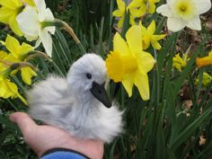 Needle Felted Animal / Swan baby cygnet by Artist GERRY