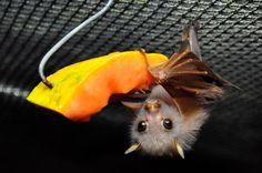 The Bat Hospital Visitor Centre (tolga) on tripadvisor All About Bats, Bat Images, Bat Species, Bat Flying, Save Wildlife, Fruit Bat, Cute Bat, Cute Animal Pictures, Beautiful Creatures