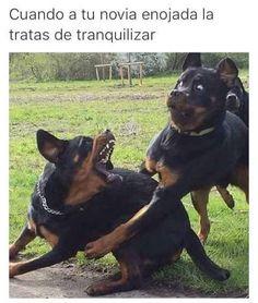 imagenes Funny Animal Jokes, Funny Dog Memes, Funny Animal Pictures, Animal Memes, Funny Dogs, Funny Animals, Dog Pictures, Hilarious Pictures, Comedy Pictures