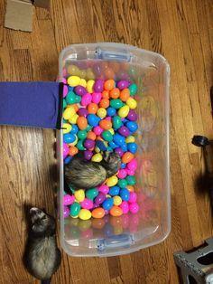 Ferret Toys, Pet Ferret, Rat Toys, Pet Rats, Ferrets Care, Cute Ferrets, Chinchillas, Hamsters, Diy Pour Chien