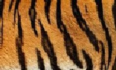 Researchers from King's College London have provided the first experimental evidence confirming a great British mathematician's theory of how biological patterns such as tiger stripes or leopard spots are formed. Tiger Stripe Tattoo, Tiger Tattoo, Tiger Stripes, Tiger Blanket, King's College London, Tiger Skin, Wild Tiger, Tech Art, Leopard Spots