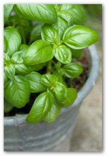 Growing Basil, Planting Basil, How to Grow Basil