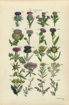 Antique Botanical Print of Wild Flowers, 1914 John Sowerby Milk Thistle, Tansy, Bur Marigold, Hand-Coloured Flower Plate (681 to 700). $28.00, via Etsy.