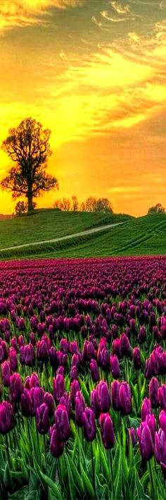 Sunrise on Field of Tulips - Vesterborg, Denmark // For premium canvas prints & posters check us out at www.palaceprints.com - Gardening Aisle