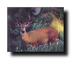 Deck up your interiors with this whitetail deer wild animal room décor art print poster. This poster can be put on your drawing room wall to showcase how you plan to take over the challenges that life throws at you. It will add a wildlife charm at your place. You'll be proud to hang this poster on your wall. We offer durability and perfect color accuracy which keep long lasting beauty of the product.