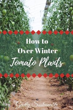 """Growing Tomatoes Tips How to Over Winter Tomato Plants - Save time and money by propagating your tomato plants for next years garden! It's simple, I'll show you how with """"How to Over Winter Tomato Plants""""! Growing Tomatoes Indoors, Tips For Growing Tomatoes, Growing Tomato Plants, Growing Tomatoes In Containers, Growing Vegetables, Grow Tomatoes, Dried Tomatoes, Tomato Seedlings, Garden Tomatoes"""