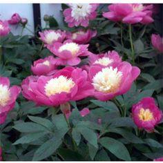 Paeonia Rose Bowl of Beauty - Peony | Johnstown Garden Centre, Ireland