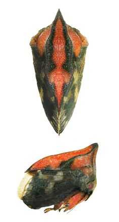 Membracidae Gen. sp.80 (from insects of Guyana)