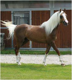 palomino sabino - Arabian partbred (81%) stallion Udjali Silver Fame