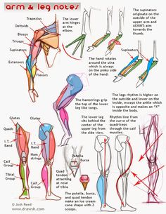 Muscular Anatomy Notes from an Artist's Perspective - Arm & Leg