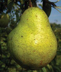 European Pear,  Bartlett