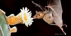 ByMicaela Jemison  The birds and the bees may rule the daytime, but as soon as the sun sets, it is the bats that get to work pollinating. Worldwide, over 500 species of flowers in at least 67 plant families rely on bats as their major or exclusive pollinators. Not only are these little mammals...