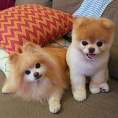 Boo and Buddy the cutest and most famous dog ever
