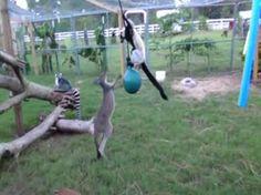 Video: Kangaroo and lemur play tag.