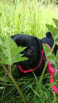 My little pug #missflo