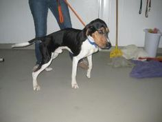 REDWOOD FALLS, MN....**#URGENT** ~ Moonshine is an #adoptable English Coonhound dog in #RedwoodFalls  Poor Hank was thrown outside starving & freezing- if it wasn't for 1 of our volunteers he'd be dead. You can see every single bone in his body & yet he's still a sweet dog that just wants love.  Its amazing how mean people can be to animals & yet how loving an animal is... help him find his happy tail !! DUKE MEMORIAL REDWOOD ANIMAL SHELTER 201 Sherwood Dr  #RedwoodFalls MN 56283 Ph…