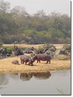 Kamerun Hippopotamus, Miniature, Elephant, World, Amazing, Travel, Animals, Africa, The World
