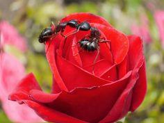 Первый признак появления тли – обилие муравьев, снующих по стеблям розы