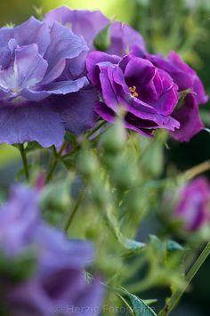 """Rosa """"Rhapsody in Blue"""" - Rose"""