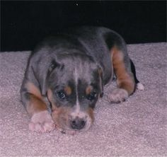blue lacy dog photo | Ollie the tricolored Blue Lacy mix puppy at 5 weeks