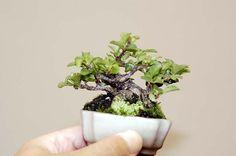 mame bonsai | dengan besarnya ibu jari si pemegang bonsai mame tersebut, bonsai ...