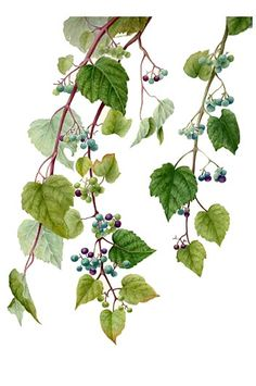 Japanese Flowers, Japanese Art, Botanical Flowers, Botanical Prints, Watercolor Leaves, Watercolor Paintings, Rose Vine Tattoos, Fruit Sketch, Plant Painting