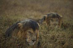 IlPost - I grandi felini sono tra gli animali selvatici più fotografati, ma capita raramente che qualcuno li fotografi quando sono zuppi d'acqua. La foto è stata scattata nel parco del Serengeti, una delle più importanti riserve naturali del mondo che si trova nel nord della Tanzania, tra il lago Vittoria e il Kenya. La pioggia per ... - I grandi felini sono tra gli animali selvatici più fotografati, ma capita raramente che qualcuno li fotografi quando sono zuppi d'acqua. La foto è stata…