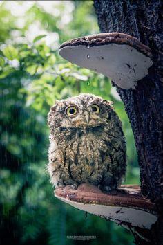 Cranky Western screech owl on a mushroom veranda (credit: Kurt De Meulemeester) Owl Photos, Owl Pictures, Animals And Pets, Baby Animals, Cute Animals, Beautiful Owl, Animals Beautiful, Owl Bird, Pet Birds
