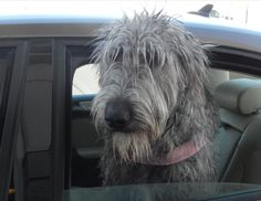 Uri, the Irish Wolfhound, was very excited to be at the library!