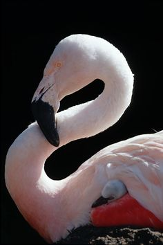 Flamingo with her baby. Love~