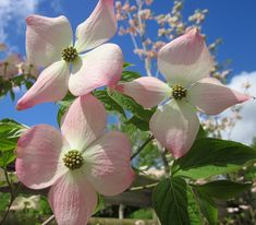 Cornus kousa Stella pink, Its flowers in May are white with a pink blush edge and its foliage turns yellow to red in autumn before leaf fall. #beautiful #pink #dogwood #white #pretty